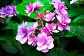 Hydrangea flower in garden — Stock Photo