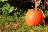Big pumpkin — Stock Photo