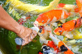 Feeding carp fish — Stock Photo