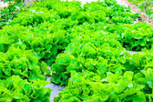 Close up of organic hydroponic vegetable — Stock Photo