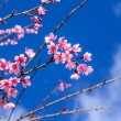 Cherry blossom or sakura flowers with blue sky — Stock Photo #63349969
