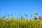 Grass flower with blue sky — Foto de Stock