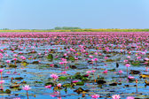Sea of pink lotus in Udon Thani, Thailand  — Stock Photo