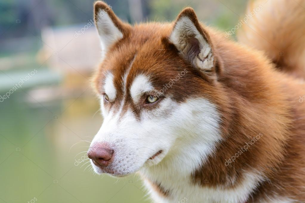 Husky Dogs For Sale In Wisconsin