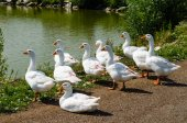 Geese in the village pond — Stock Photo