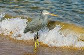 Little blue heron fishing. Egipt — Stock Photo