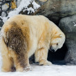 Polar bear  in the Moscow zoo — Foto de Stock   #68723605