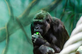 Gorilla in einem baum — Stockfoto