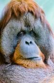 Orangutan at the zoo — Stock Photo