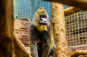 Mandrill in zoo — Stock Photo