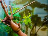 Leaf insect in the Moscow zoo — Stock Photo