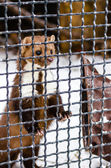 Stone marten in the Moscow zoo — Stock Photo