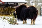 Musk ox in the Moscow zoo — Stock Photo