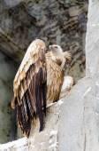 在莫斯科动物园里的秃鹫 — 图库照片