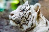 Bengal white tiger in the Moscow zoo — Stock Photo
