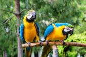 Couple of blue macaws on a background of trees. — Stock Photo