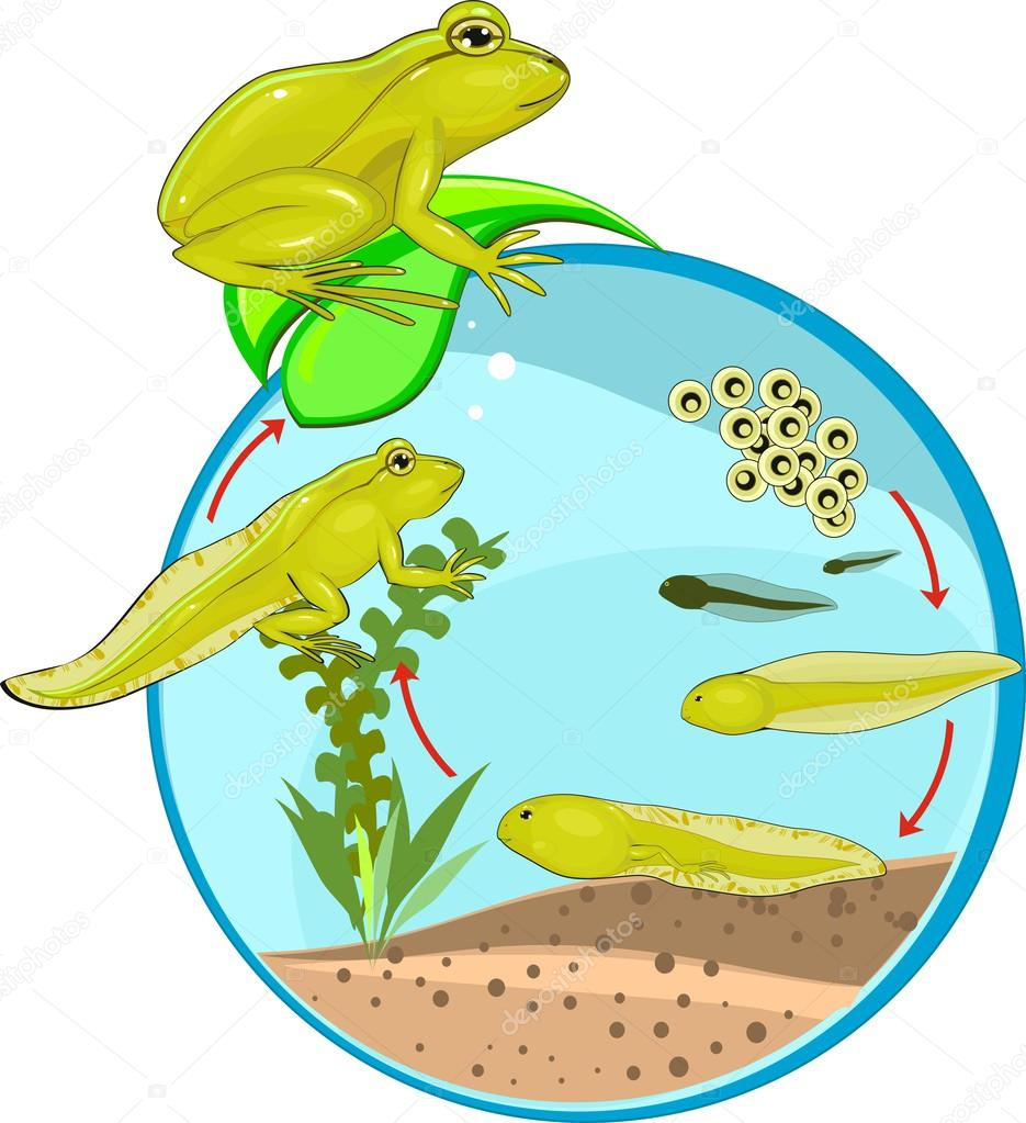 Giant isopod further The Viral Life Cycle also Living And Non Living Things Preschool Worksheets together with Stock Illustration Life Cycle Of Frog as well Green Flamingo. on animal life cycle