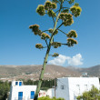 Flowering agave in Parikia on Paros in Greece — Stock Photo #63435161