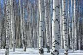 Winter.Birch grove. — Stockfoto