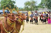 インドネシア ・ マドゥラ島牛レースで装飾された牛 — ストック写真