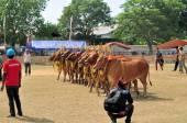 Decorated Bulls at Madura Bull Race, Indonesia — Stock Photo
