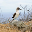 Blue footed booby in Galapagos islands — Stock Photo #66895081