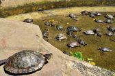 Turtles at Buddhist temple in Hanoi, Vietnam — Stock Photo