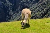Llama in the Peruvian Andes mountains — Foto de Stock