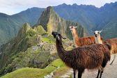 Llamas at Machu Picchu, lost Inca city in the Andes, Peru — Stock Photo