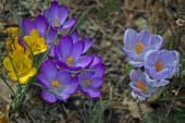 Crocus geel, paars en blauw — Stockfoto