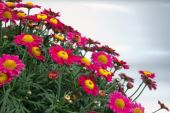 Red Marguerites — Stock Photo