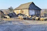 Koyun ve sonbahar evi ile kırsal manzara — Stok fotoğraf