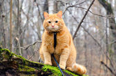 Red cat on a leash sitting on a felled tree in the forest — Stock Photo