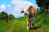 Grazing cow looking into the camera lens — Stockfoto