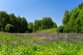 Landscape with flowering lupine meadow — Stock Photo