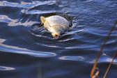 Pêche carpe appâts dans l'eau gros plan — Photo