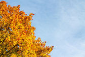 Autumn colored maple tree leaves — Stock Photo