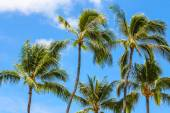 Palmtrees against the blue sky — Stock Photo