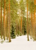 Cross country skiing path in the forest — Stock Photo