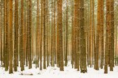 Thick snowy pine wood forest background — Stockfoto