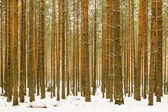 Thick snowy pine wood forest background — Foto Stock