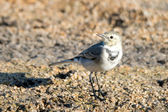 White wagtail — Stock Photo