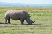White rhinoceros ( Ceratotherium simum) — Stock Photo