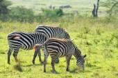 Zebras in savanna — Stock Photo