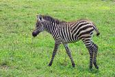 Zebra foal — Stock Photo