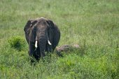 Female African elephant with a cub — Stock Photo