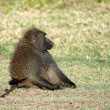 Olive baboon — Stock Photo #64064509