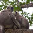 Pair of gray langurs — Stock Photo #67852223