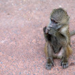 Baby olive baboon — Stock Photo #69562425
