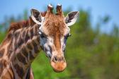Closeup of giraffe — Stock Photo